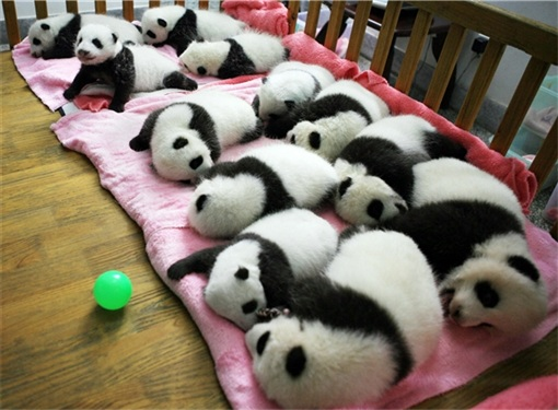 Panda Offspring