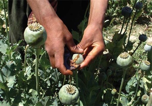 China Opium-Laced Noodle - Opium Poppy