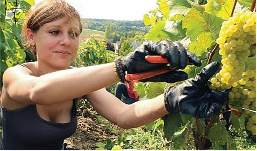 Working in Australia - Grapes Farm
