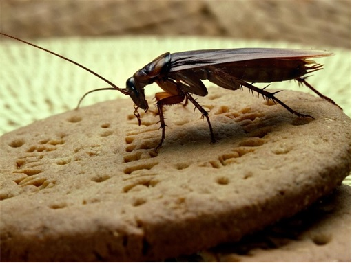 Cockroaches Have Personalities - Eating Biscuit