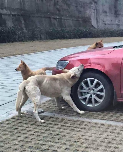 Dog Chews Volkswagon Jetta while Buddies on a Look Out - China