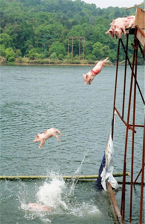 China Animal Cruelty - Pigs Jump Into Lake