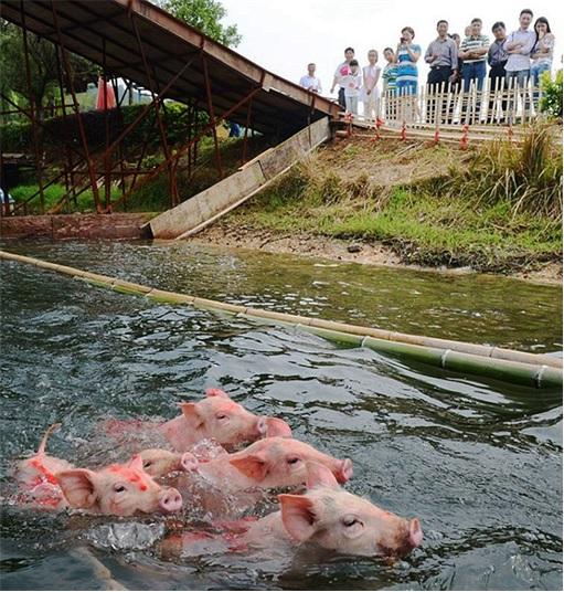 China Animal Cruelty - Pigs Swimming To Finish Line While Tourists Cheered