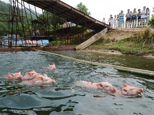 China Animal Cruelty - Pigs Swimming To Finish Line