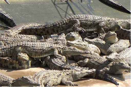 Crocodiles at Farm for Hermes Birkin