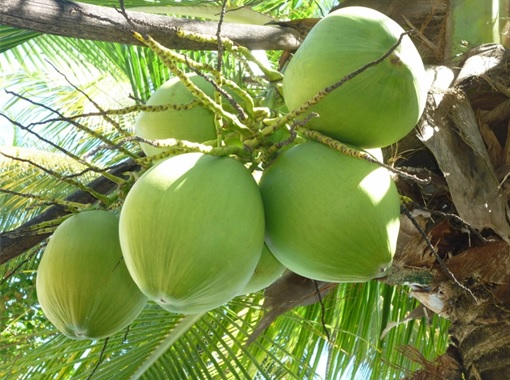 Coconut on Tree