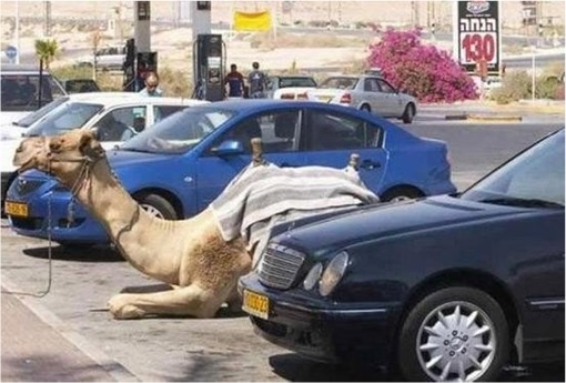 Middle East - Camel at Parking Lot
