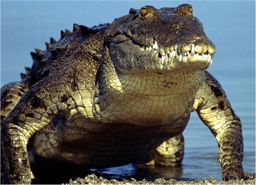 Indonesia New Prison - A Fierce Looking Crocodile Guarding Drug Traffickers