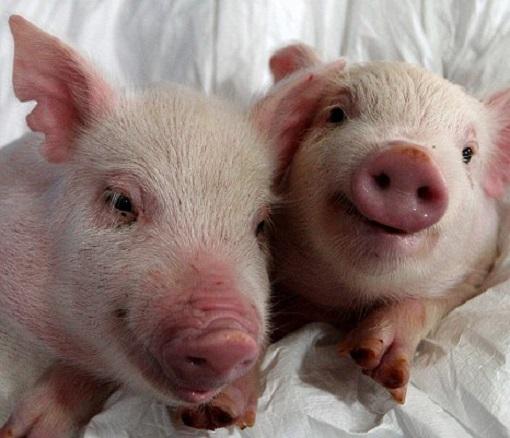 Human Organ Transplant - Pigs