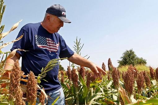 American Sorghum Farmer