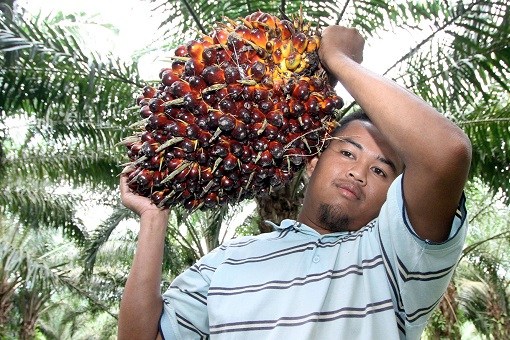 Felda Malay Settler - Palm Oil