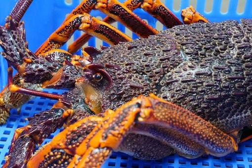 Australia Rock Lobster