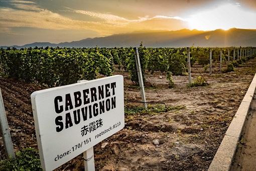 China Ningxia Wineries - Vineyard